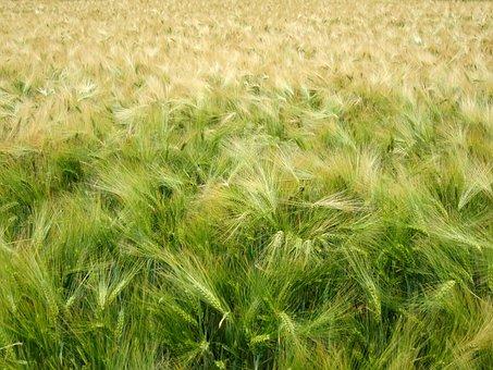 Cereals, Harvest, Green, Wheat, Wheat Field, Oats