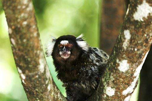 Marmoset White Tufts, Wild, On The Branch, Primate