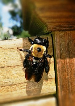 Carpenter Bee, Bee, Xylocopa, Xylocopinae, Large Bee