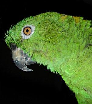 Yellow Neck Amazone, Parrot, Bird, Amazone, Feather
