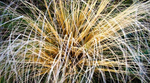 Grass, Macro, Yellow, Tuft