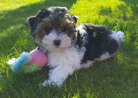 Yorkshire Terrier, Biewer Terrier, Puppies, Dog Breed