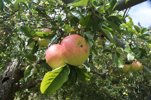 Galician Apples, Apples, Blonde, Fruit, Tree