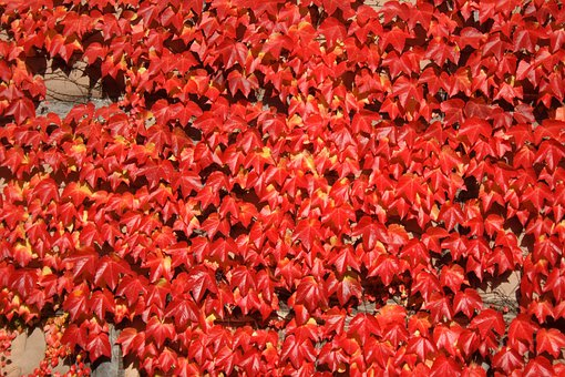 Leaves, Leaf, Red, Wine, Vine, Facade, Autumn