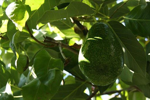 Avocado, Avocado Tree, Avocado Plant, Green, Fruit