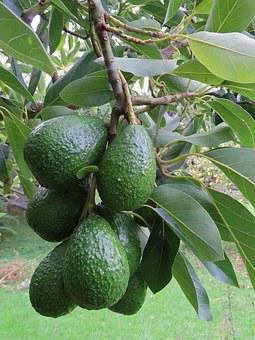 Avocado, Avocado Fruit, Fruit, Tree, Green, Growing