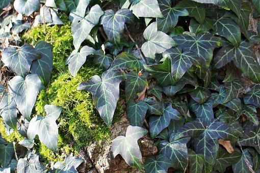 Ivy, Climber, Entwine, Plant, Climb, Green, Background