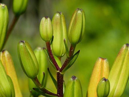 Buds, Feuerlilie, Lilium Bulbiferum, Flower, Beautiful