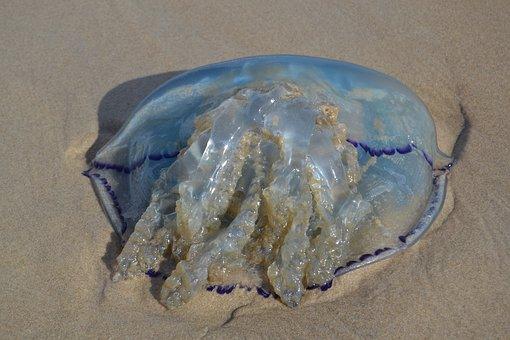 Blue Jellyfish, Jellyfish, Cyanea Lamarckii