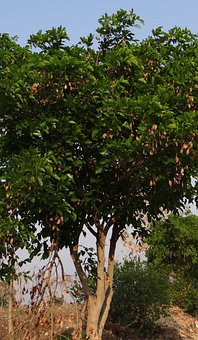 Milletia Pinnata, Karanj, Tree, Flora, Pongamia Pinnata