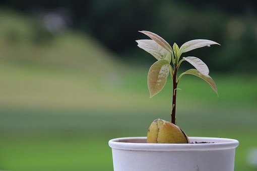Avocado, Plant, Seed, Pot, Tree, Growing, Garden