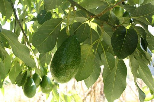 Avocado, Tree, Branch, Growing, Leaf