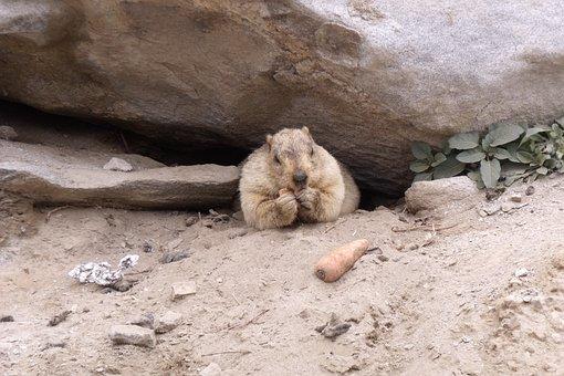 Marmot, Rodent, Himalayas, Karakorum, Wildlife, Animal
