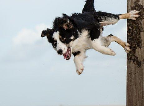 Hundesport, Border Collie, Dog Trick, Pole Jump