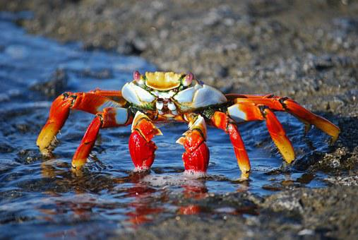 Crab, Amazon, Colorful, Creepy, Legs, Nature, Insect
