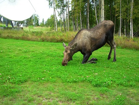 Cow Moose, Kneeling, Landscape, Forest, Trees, Alaska