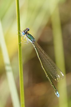 Nehalennia Speciosa, Insect, Dragonfly, Nature, Outside