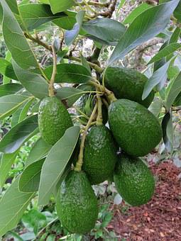 Avocado, Fruit, Tree, Green, Organic, Natural