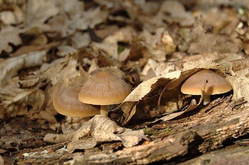 Mushrooms, Psathyrella Spadiceo-grisea, Spring, Forest