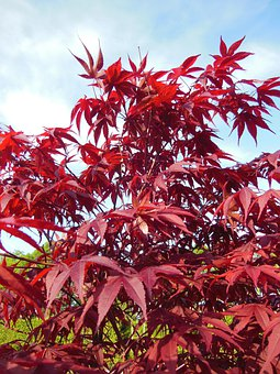 Acer Palmatum, Japanese Maples, Trees, Red, Red Leaves
