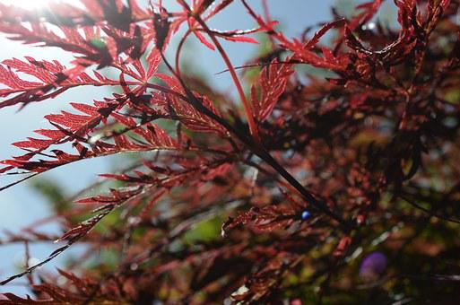 Japanese, Lace-leaf, Maple Trree, Tree, Nature, Red