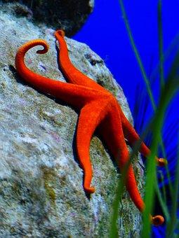 Starfish, Red, Red Starfish, Leiaster Speciosus
