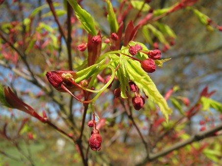 Acer Palmatum, Japanese Maple, Smooth Japanese Maple