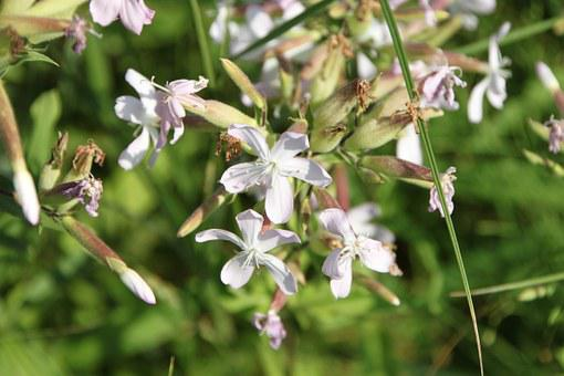 Common, Flowers, Officinalis, Saponaria, Soapwort