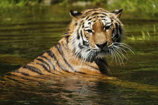 Siberian Tiger, Water, Swim, Cat, Tiger