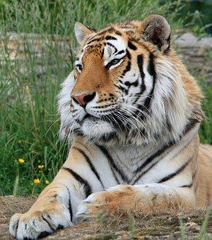 Tiger, Siberian Tiger, Big Cat, Feline, Wildlife