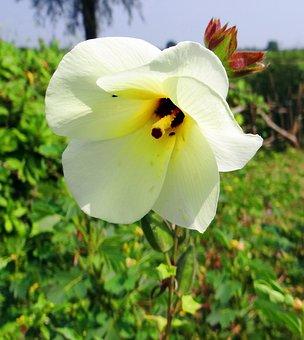 Wild Ladyfinger, Abelmoschus Manihot, Flower, Pods