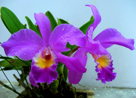 Bunga, Anggrek, Indonesia, Asian, Flower, Flora, Nature