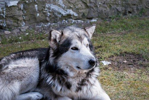 Dog, Alijašský Malamute, Animal