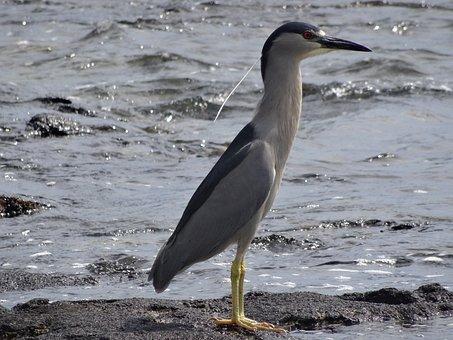 Auku'u, Bird, Beach, Sea, Nature, Animal World, Birds