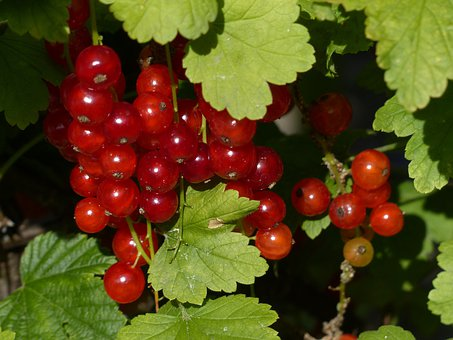 Red Currant, Currants, Gooseberry Greenhouse, Berries