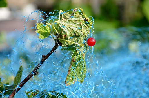 Red Currant, Currant, Bird Protection Net
