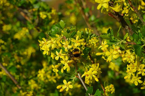 Ribes Aureum, Flowers, Yellow, Bush, Branch, Shrub