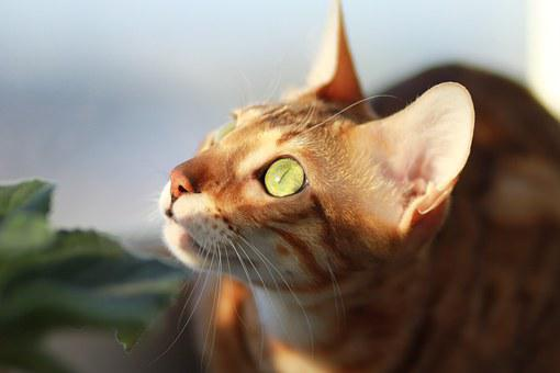 Cat, Bengali, Pet, On The Windowsill, Breed