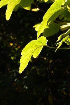 Leaf, Back Light, Bright, Green, Sun, Bush, Currant
