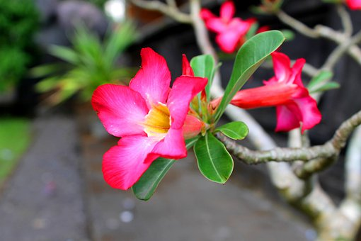 Bunga, Merah Muda, Indonesia, Flower, Flora, Beautiful