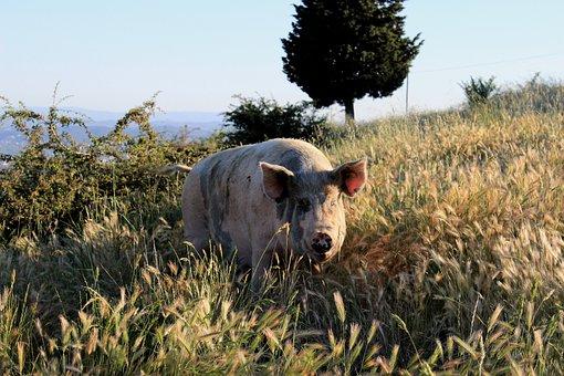 Pig, Travalle, Prato, Wheat, Campaign, Hill