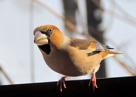 Hawfinch, Birds, Colorful, Beak, Wintering In Bulgaria