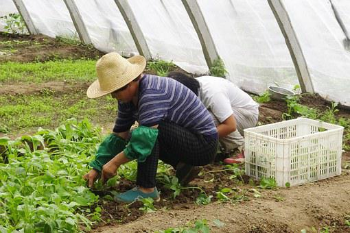 Farmer, People, Work, Greenhouse, Basket, Vegetables