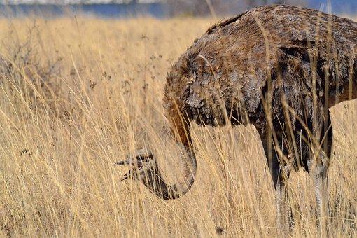 Ostrich, Bird, Wild, Female Ostrich, South Africa