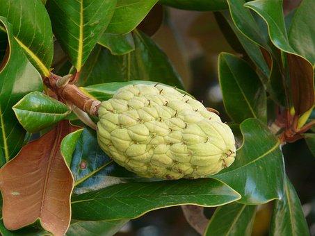 Rubber Tree, Ficus Elastica, Fig Tree, Ficus, Figs