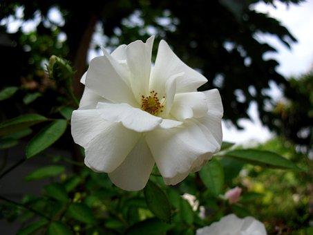 Bunga, Mawar, Indonesia, Flower, Beautiful, Flora