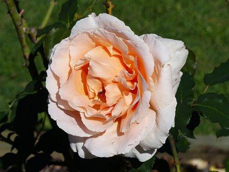 Rose, Apricot Colour, Bloom, Flower