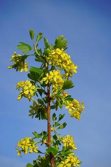 Ribes Aureum, Flowers, Yellow, Bush, Branch, Shrub