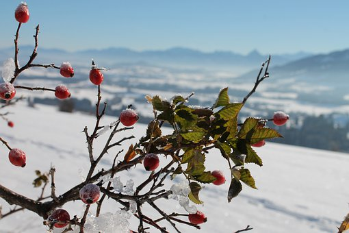 Rose Hip, Frozen, Wild Rose Bush, Snow, Rosebush