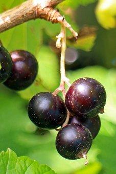 Black Currant, Ribes Nigrum, Fruit, Berry, Fruits, Food
